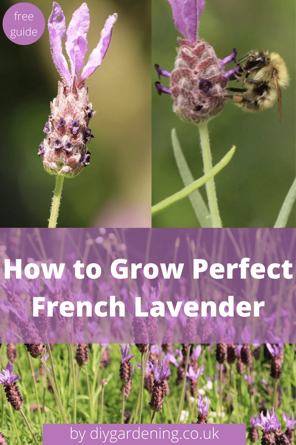 How to grow perfect French lavender