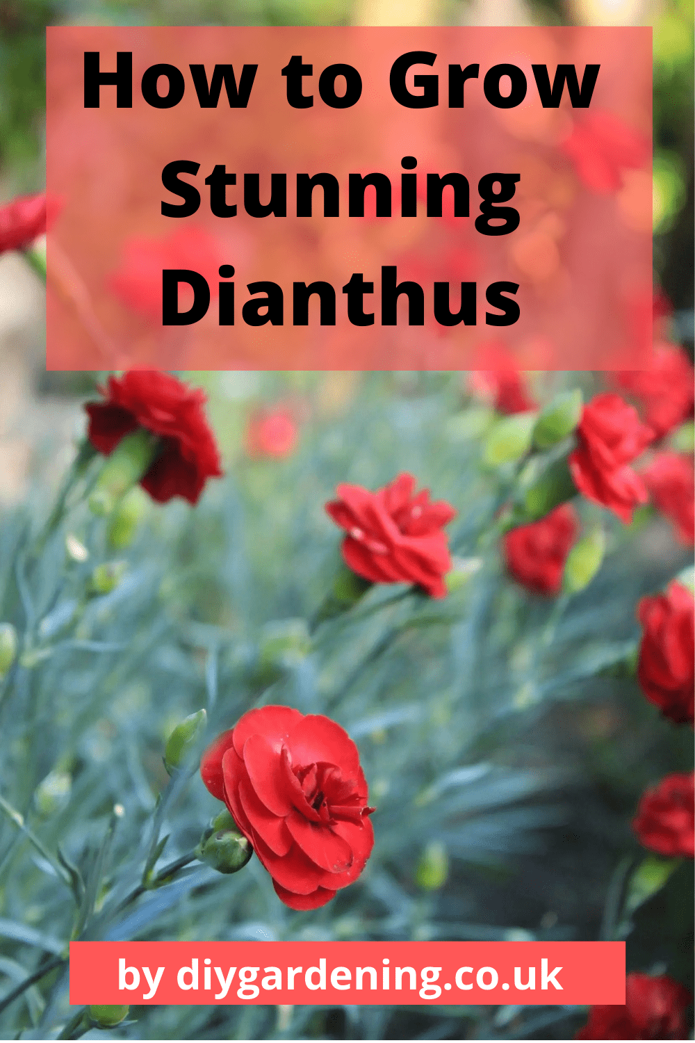 How to Grow Stunning Dianthus