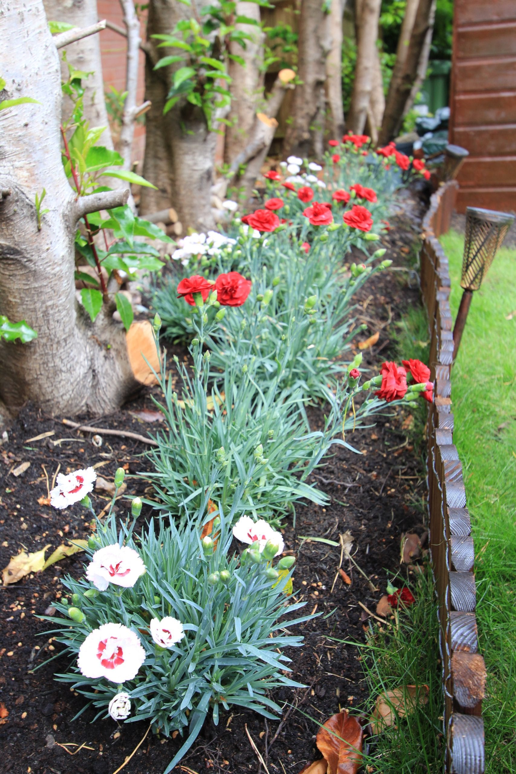Red and white Dianthus in border