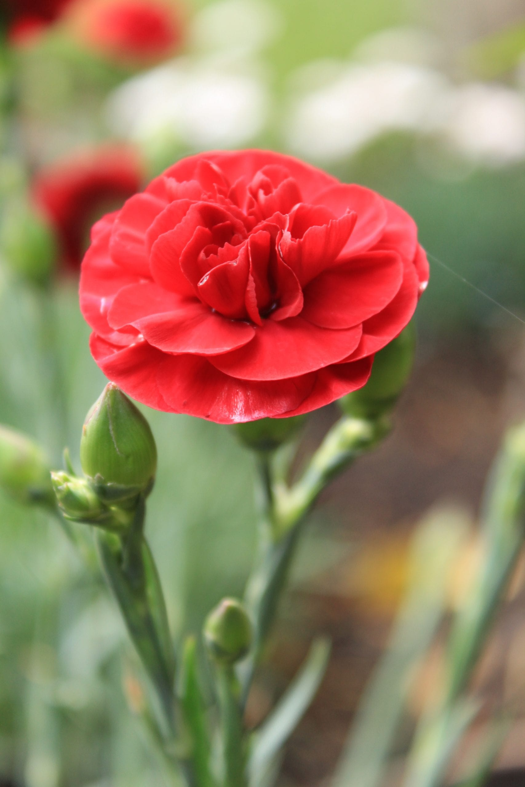 Closeup of red Dianthus