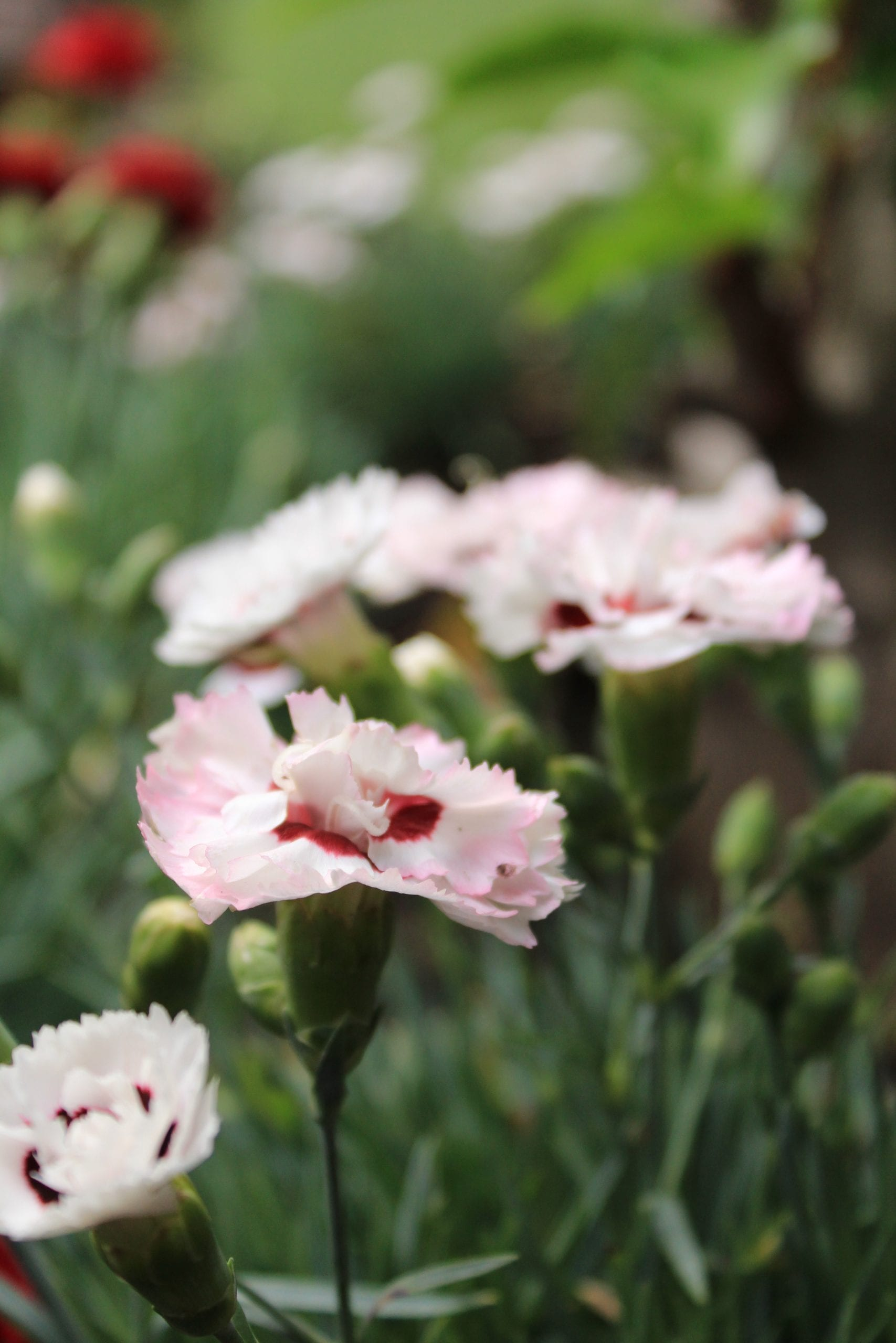 "Dianthus ""Coconut Sundae"" close up"