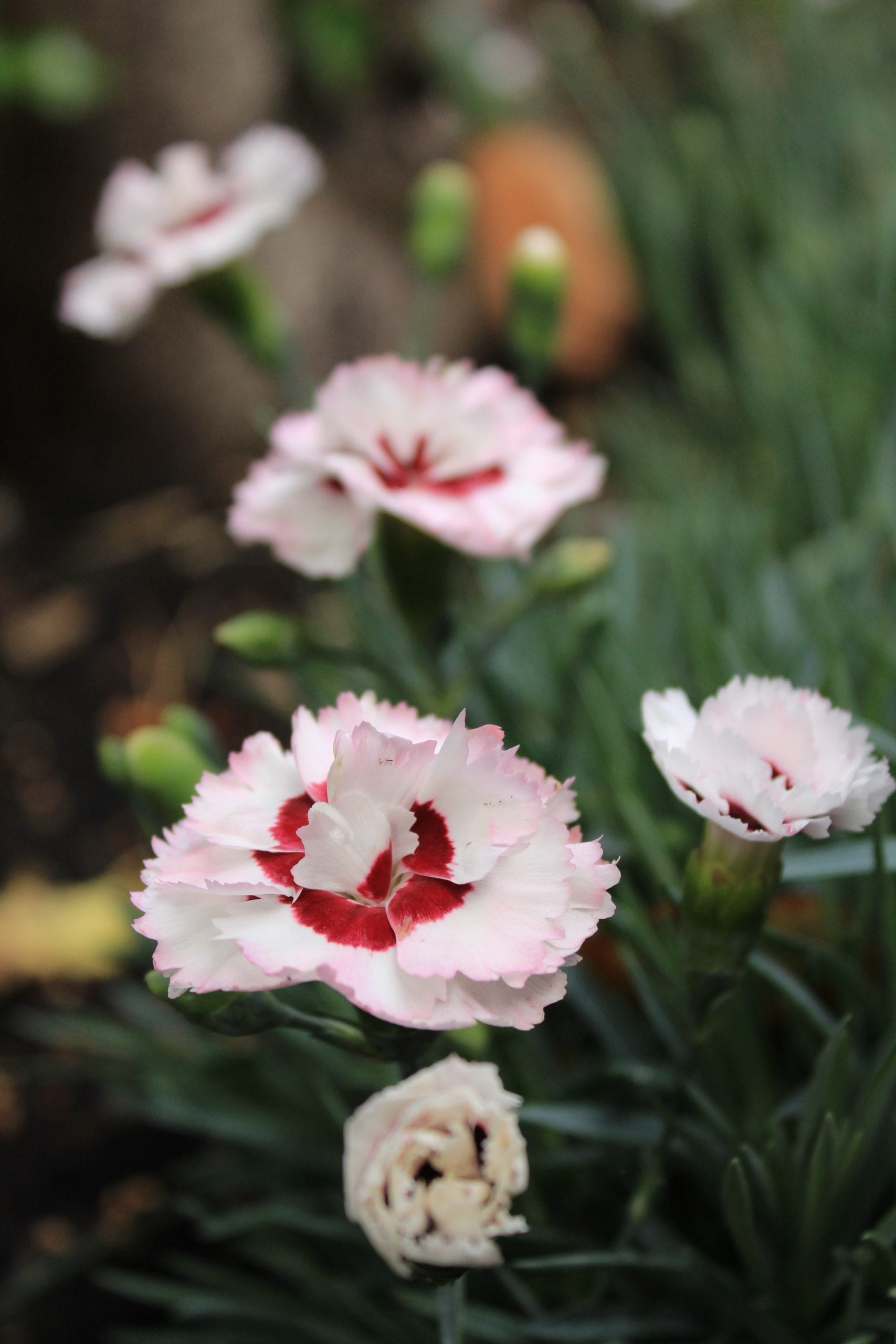 "Dianthus ""Coconut Sundae"" Pink in border"