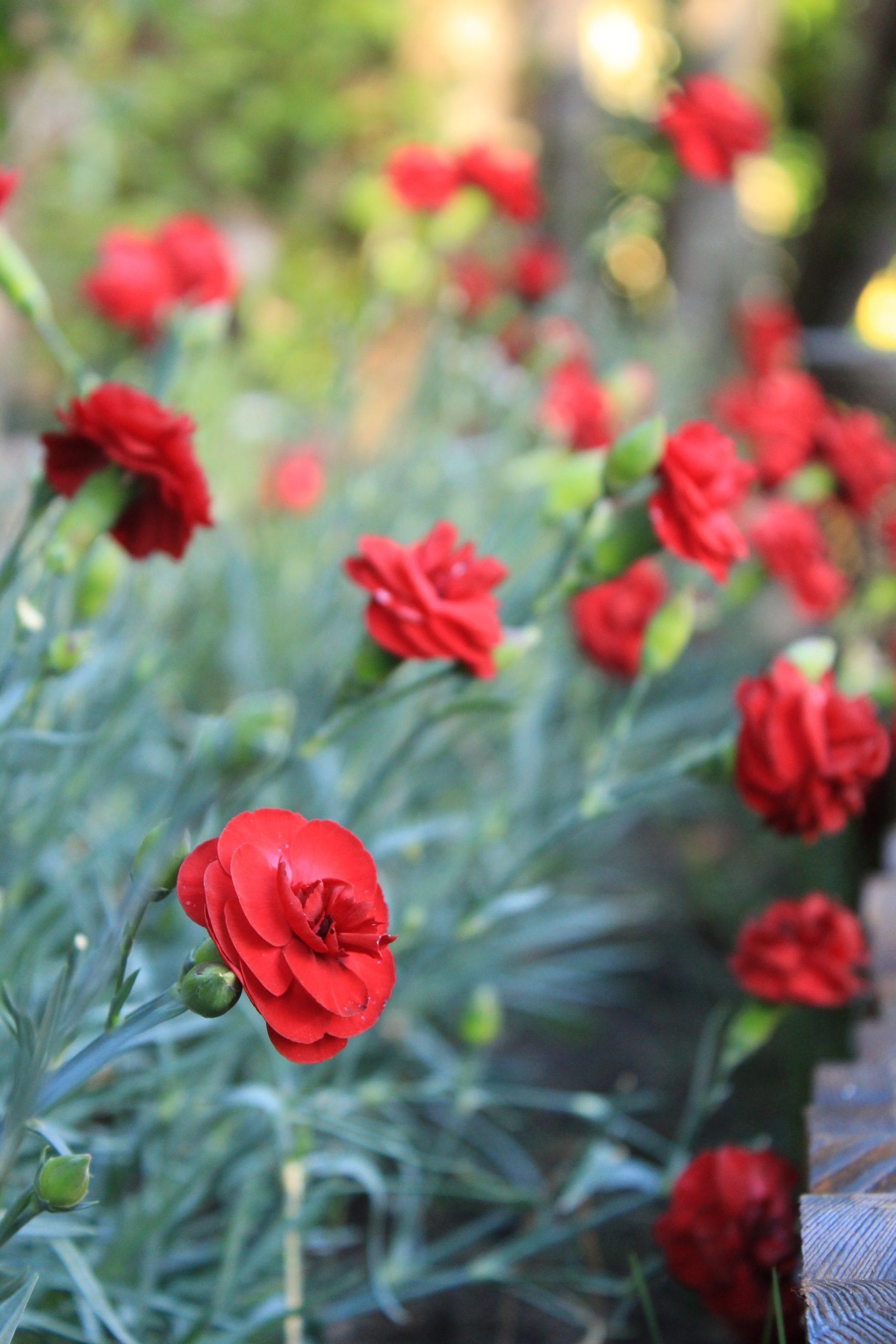 Free Dianthus photo: mixed border