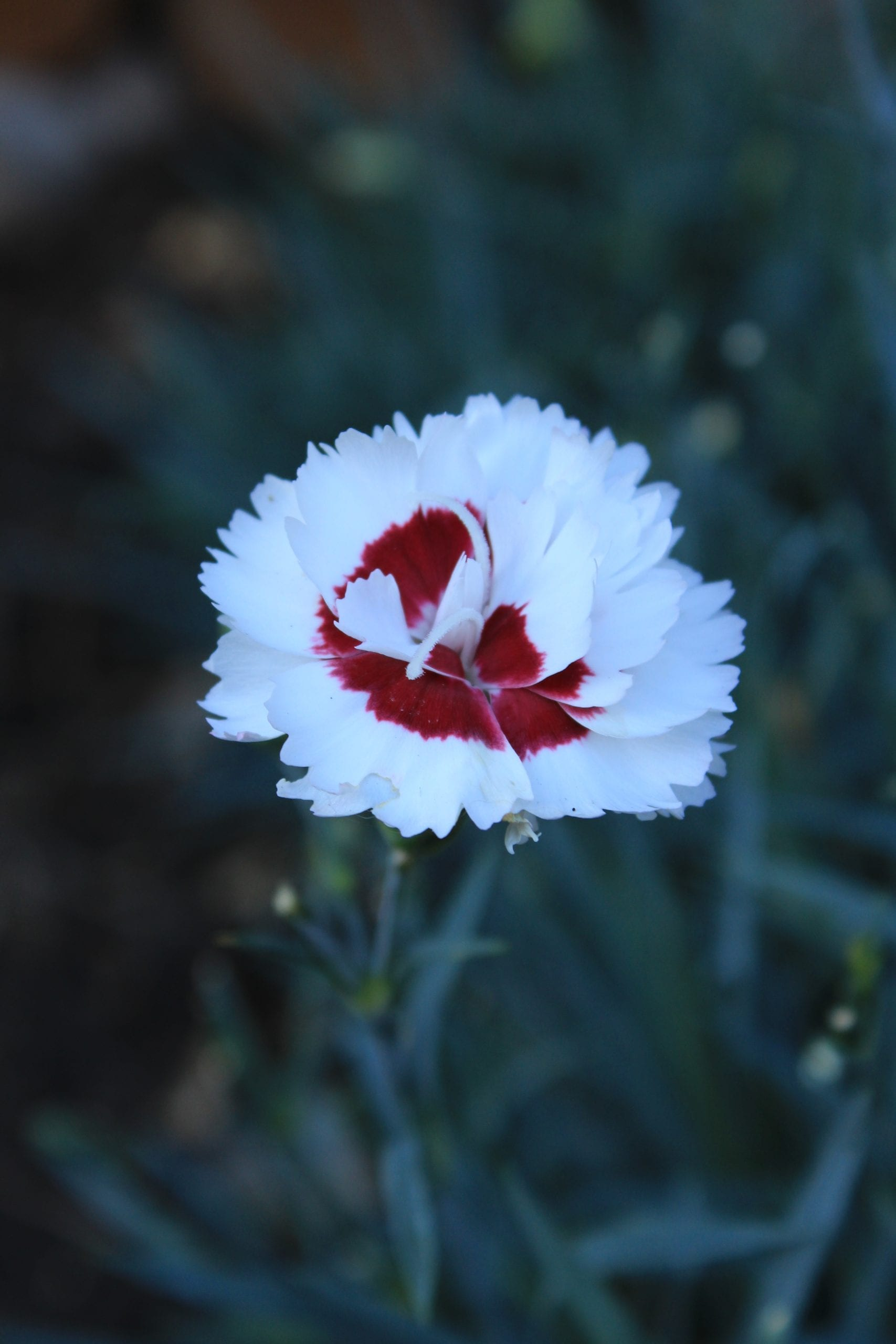 "Close up of Dianthus white and red ""Coconut Sundae"" Pink"