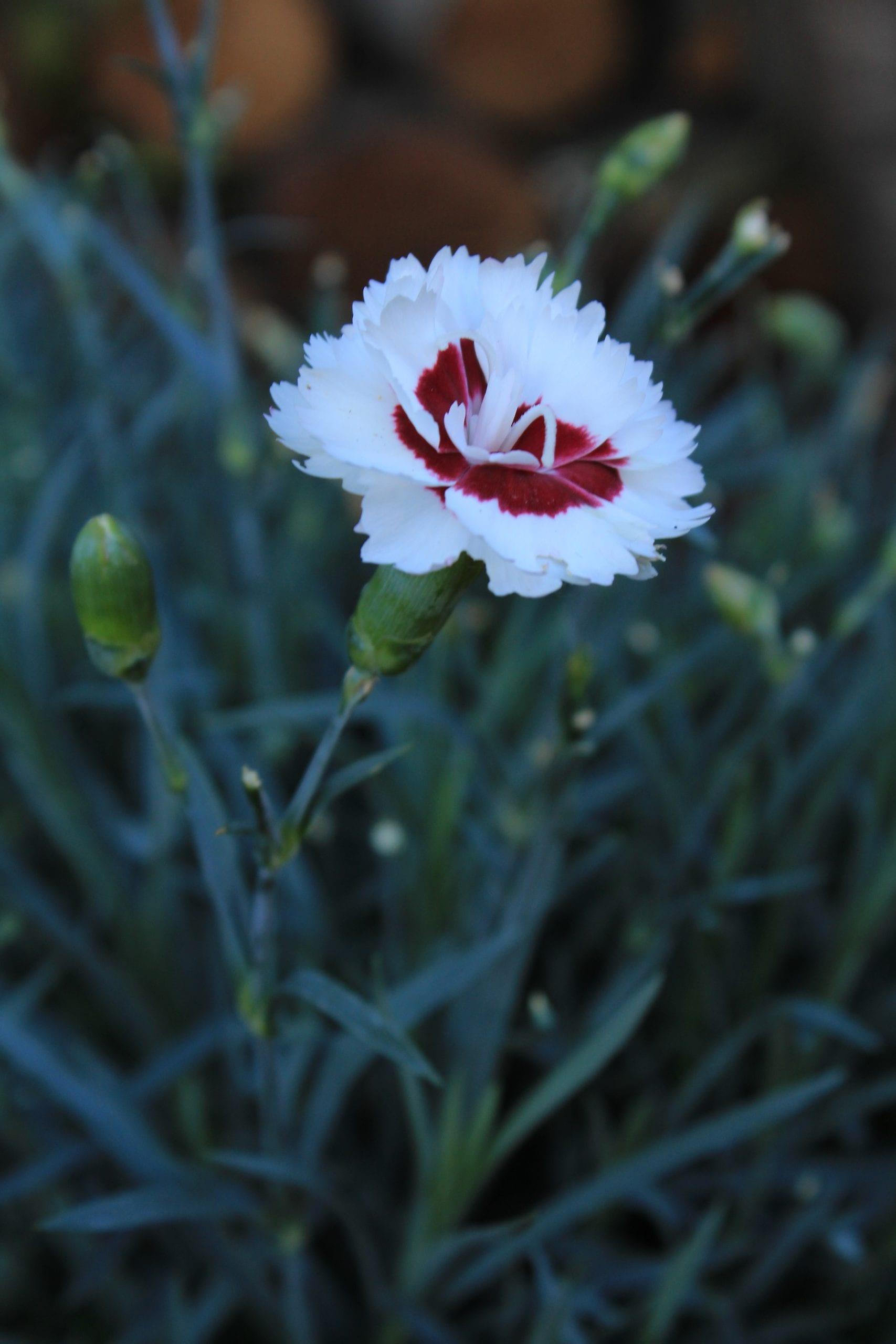 """""""Coconut Sundae"""" Dianthus plant"""