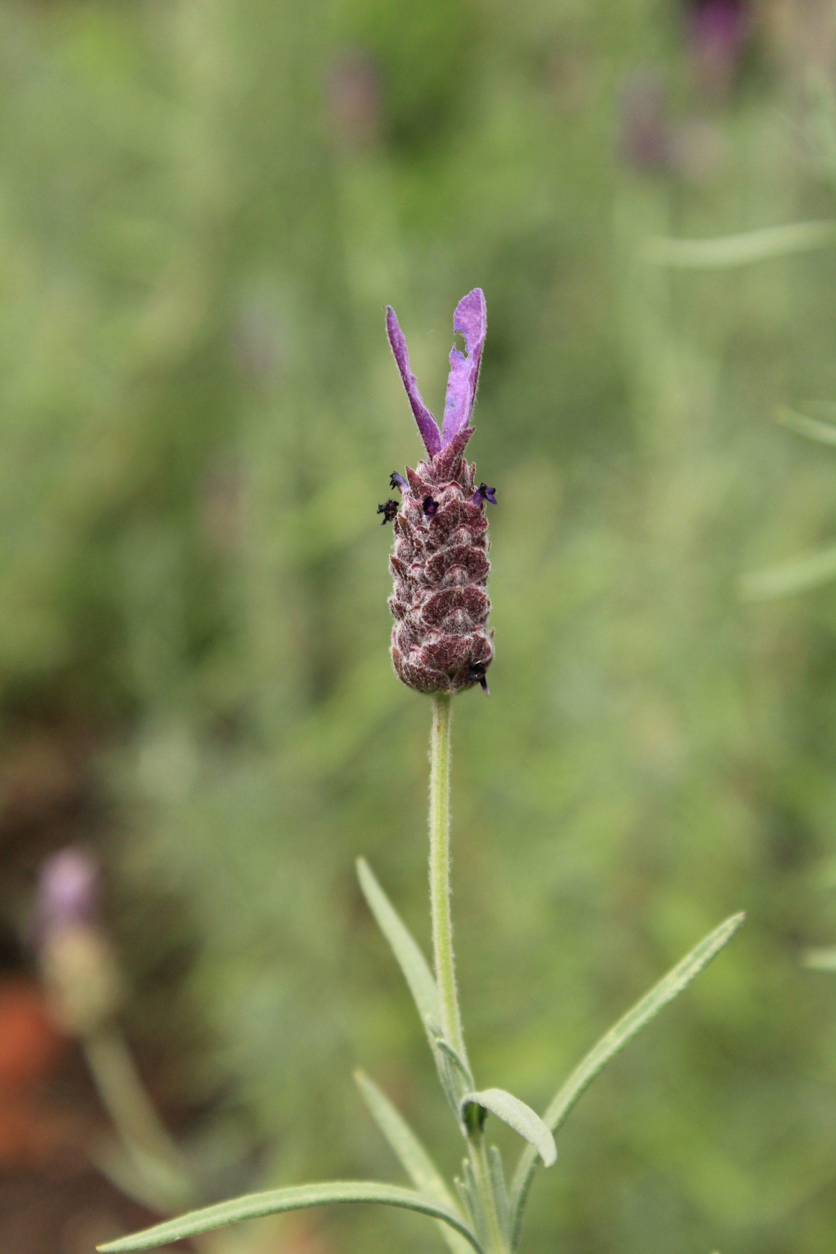 lavender bract