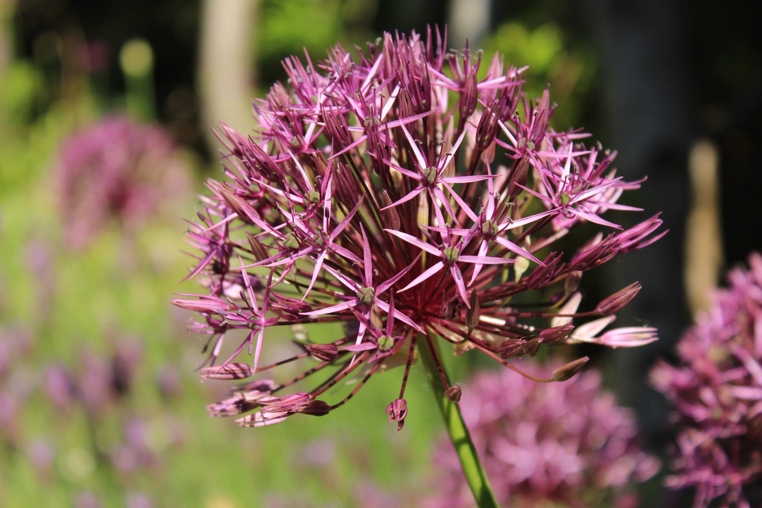 Another free photo of an Allium Cristophii