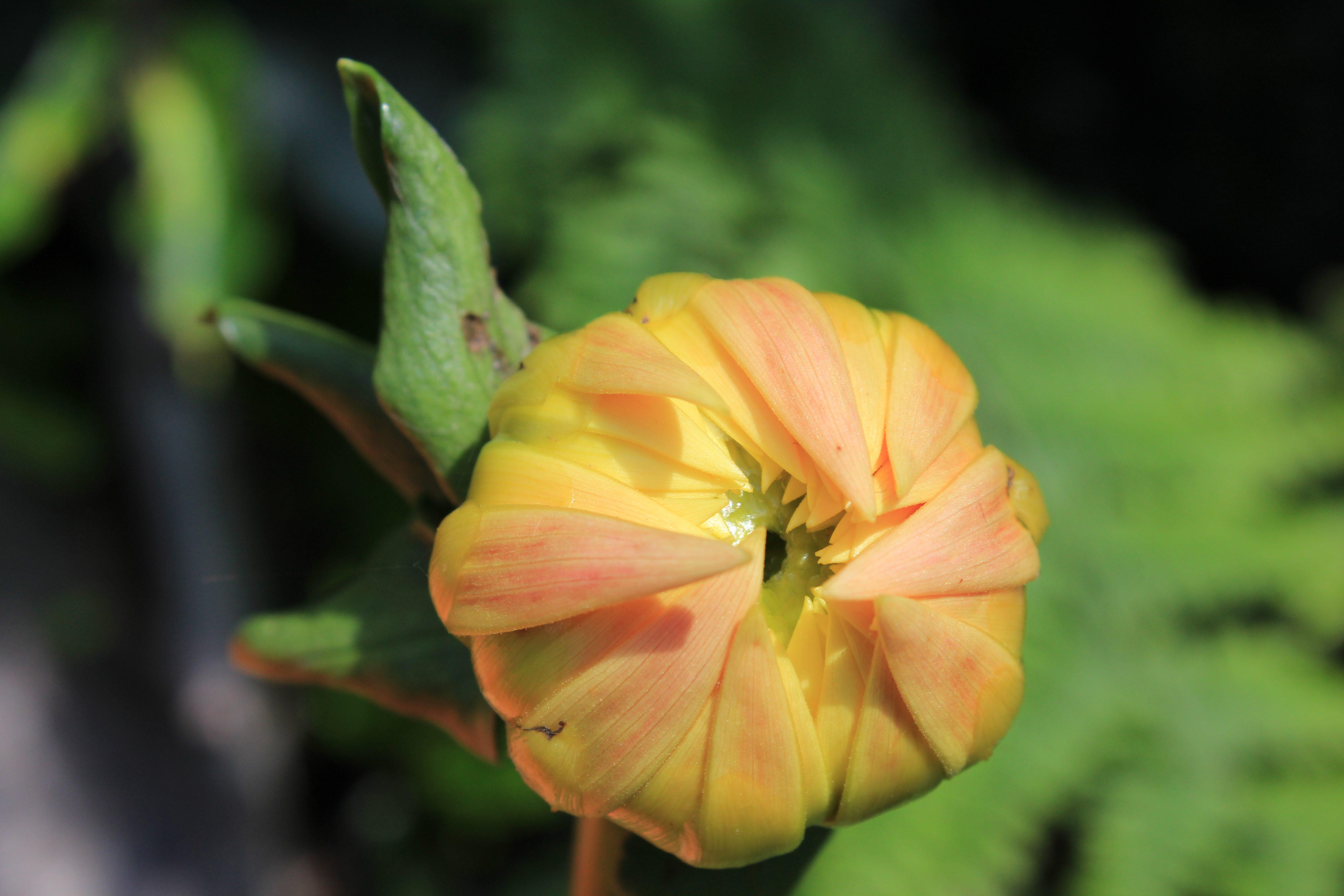 Closeup of dahlia bud