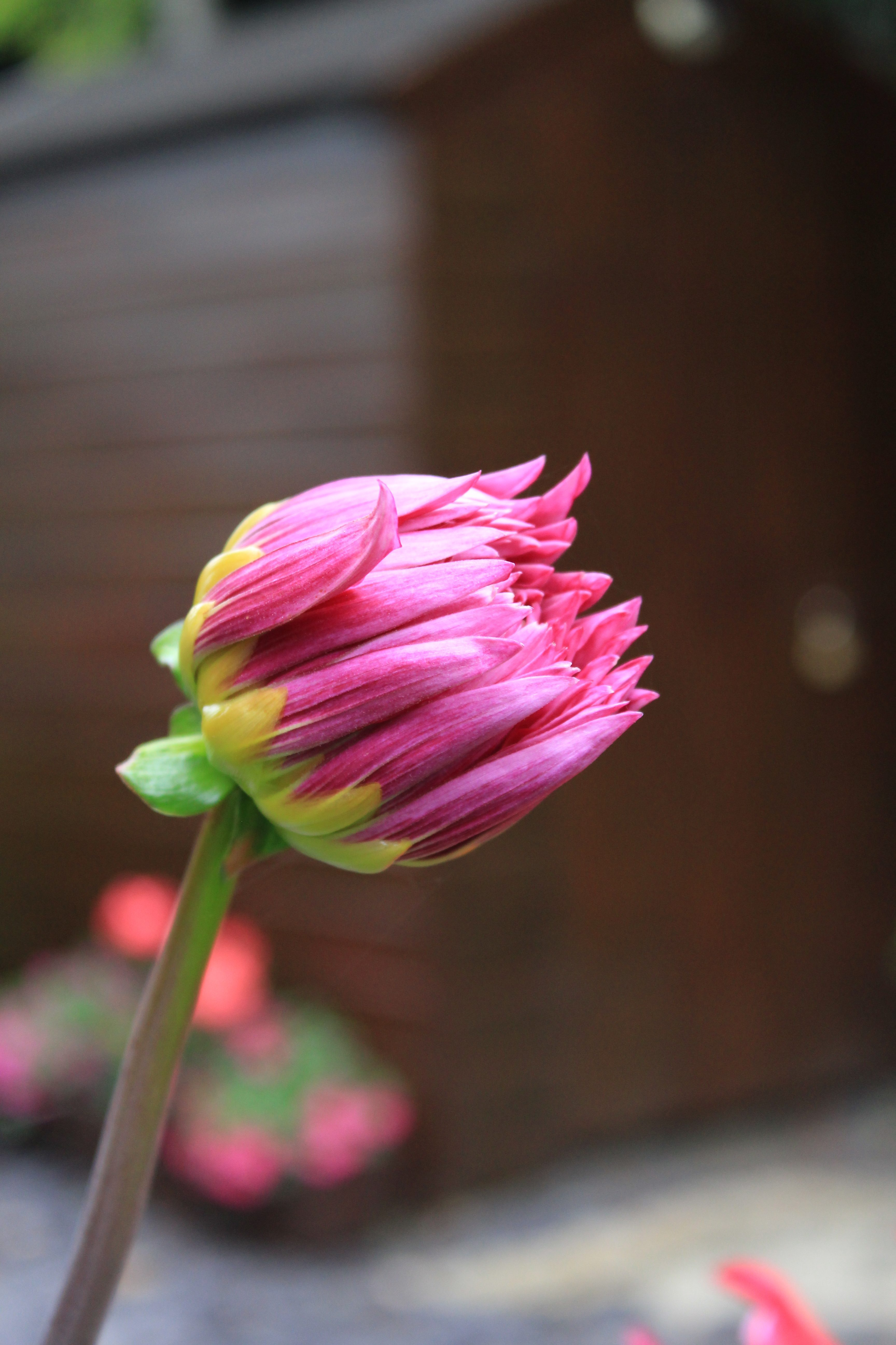 Pink and purple dahlia bud opening