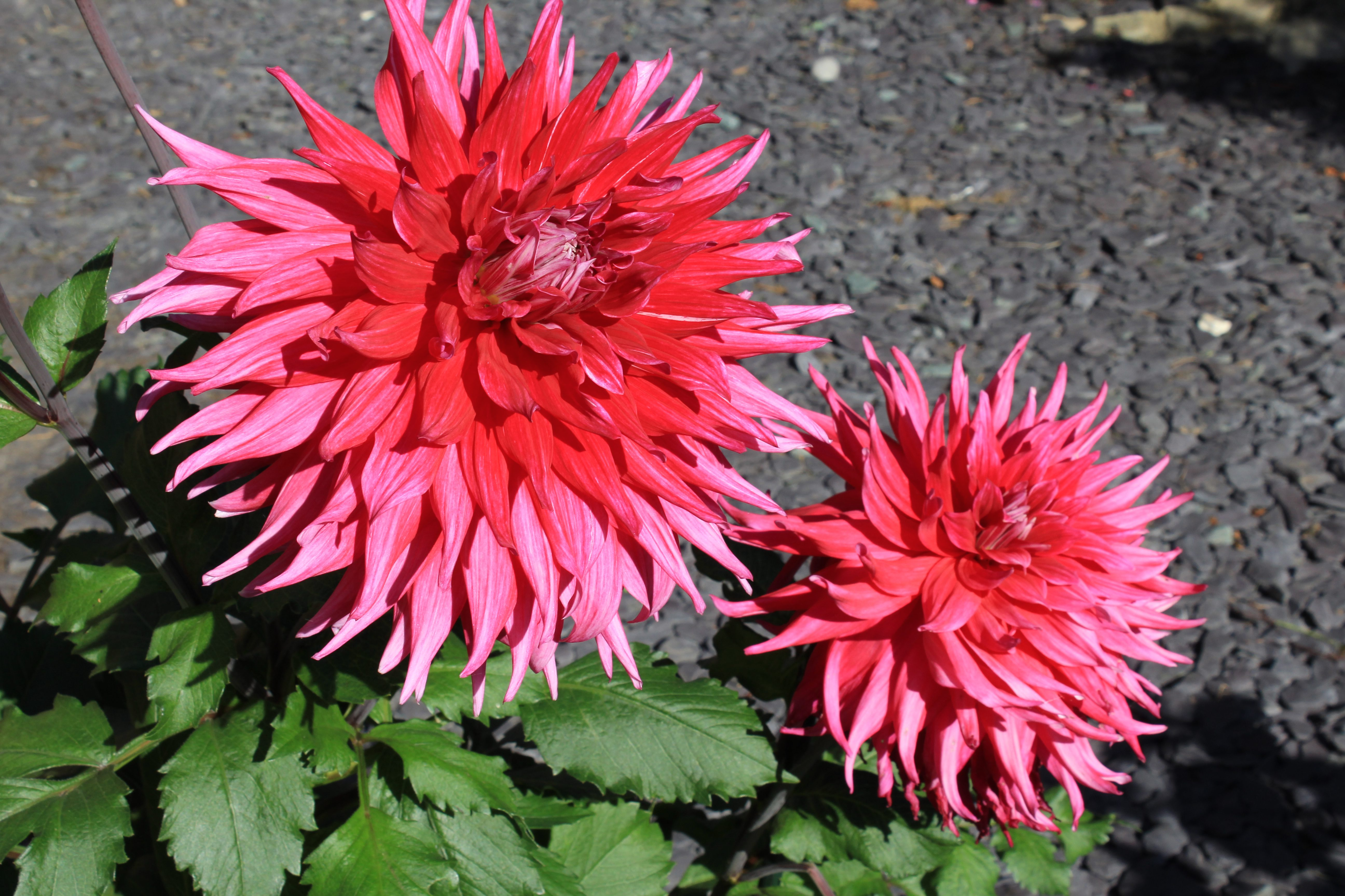 Red and pink dahlia