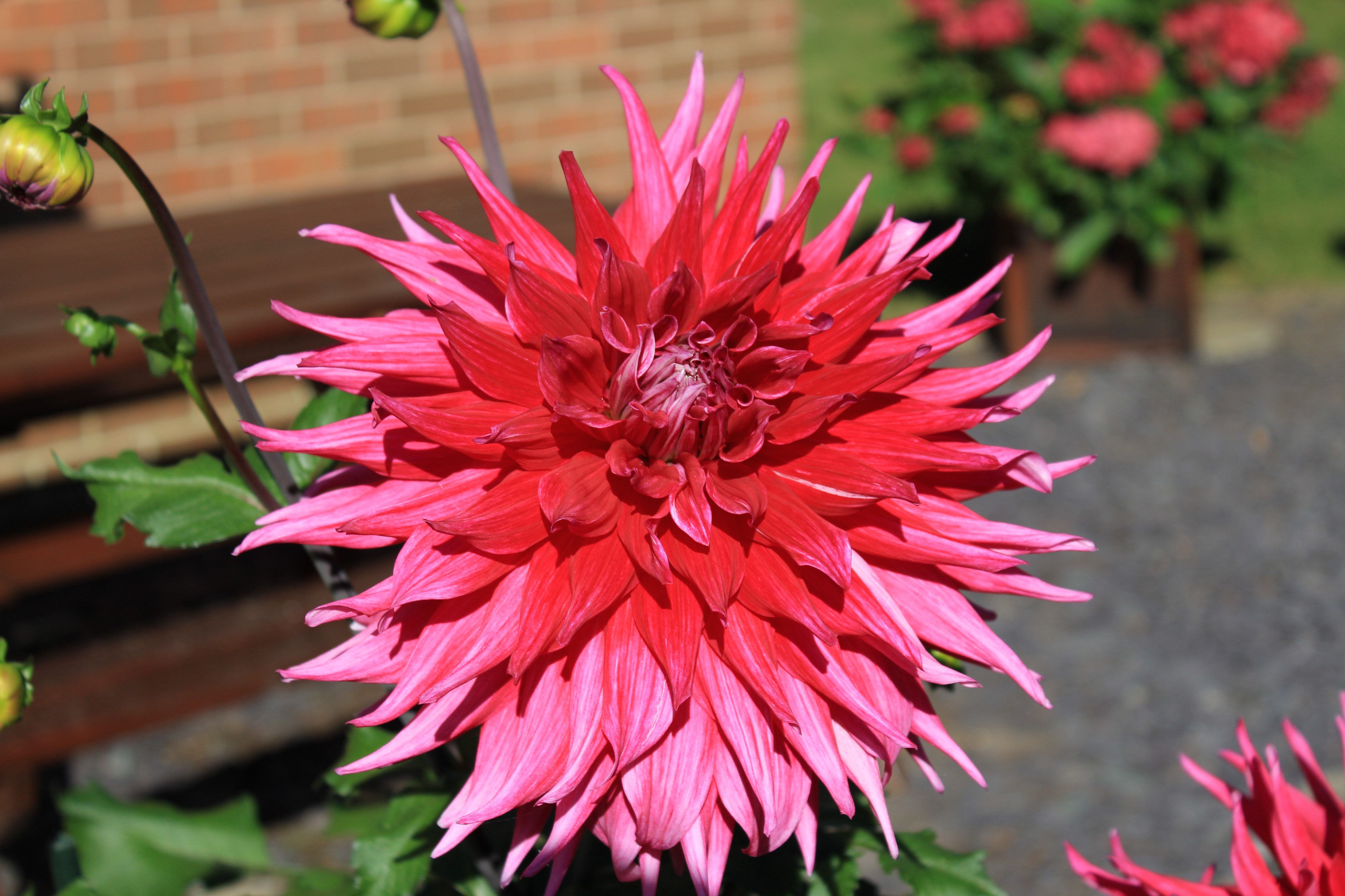 Dinnerplate dahlia in red and pink