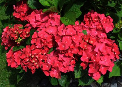 """A cluster of flowers on macrophylla """"ab green shadow"""""""