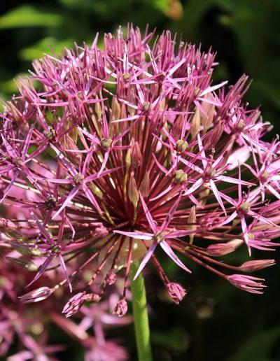 Closeup of purple allium in spring
