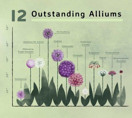 Allium infographic