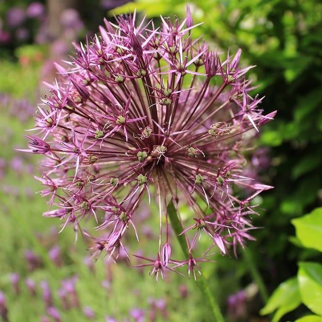 Allium Universe