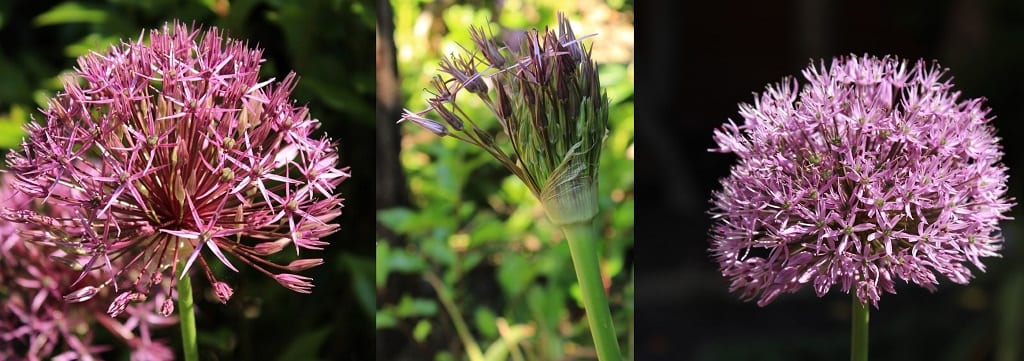 Alliums in spring