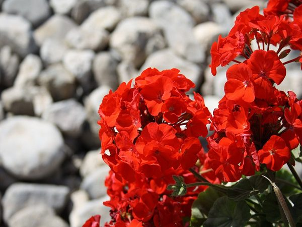 Annual geraniums