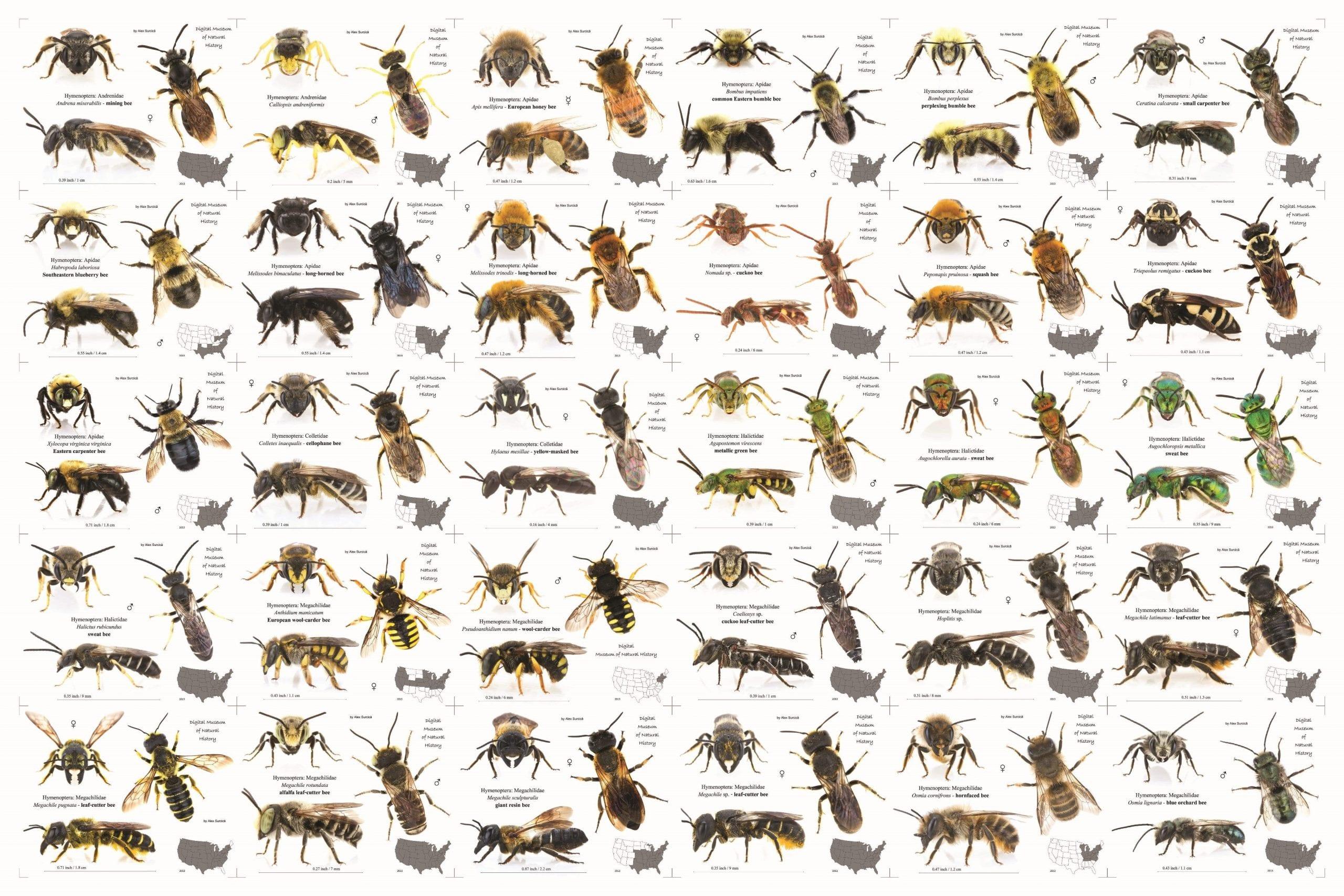 Bee identification US
