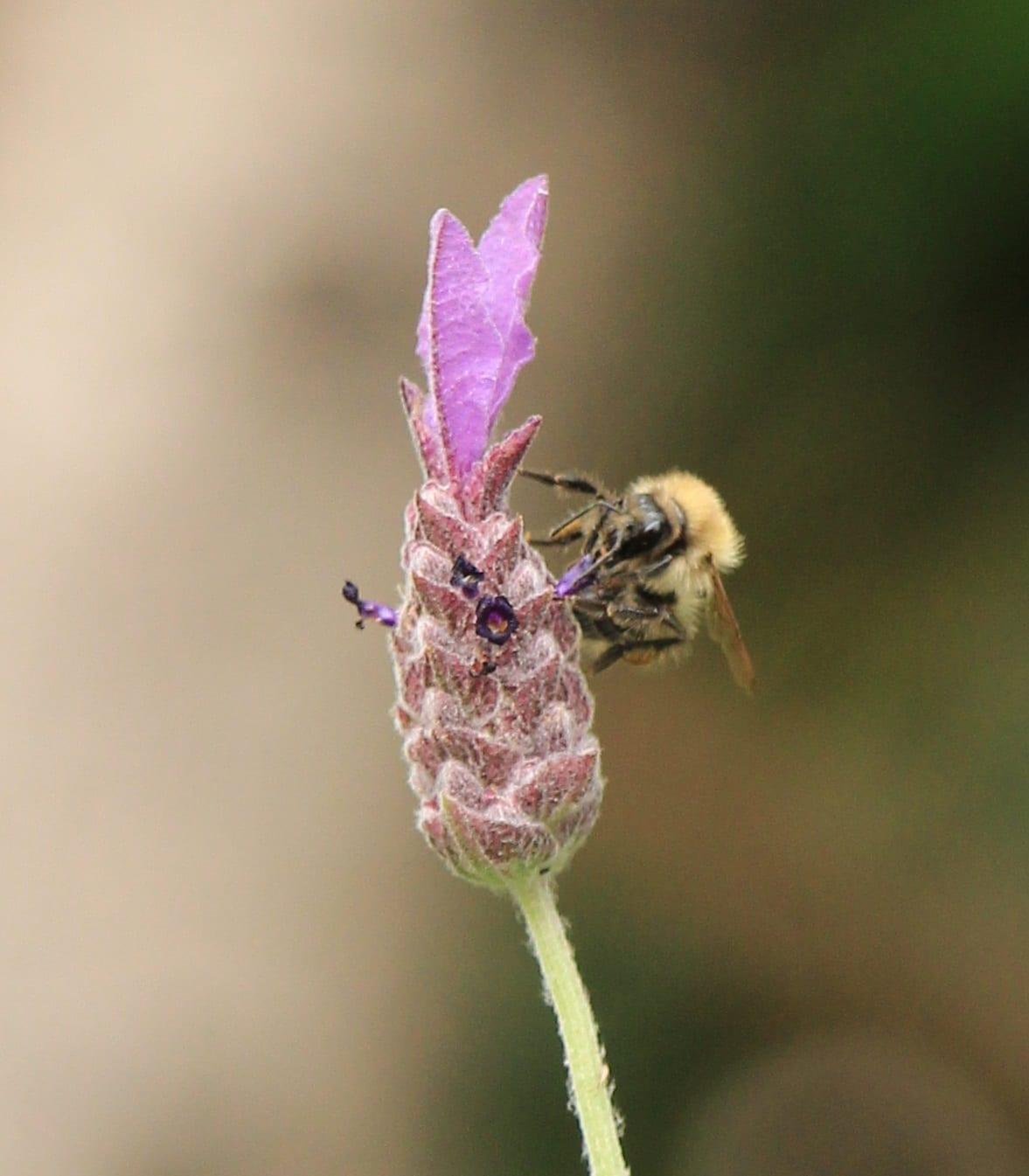 Bee on lavender head