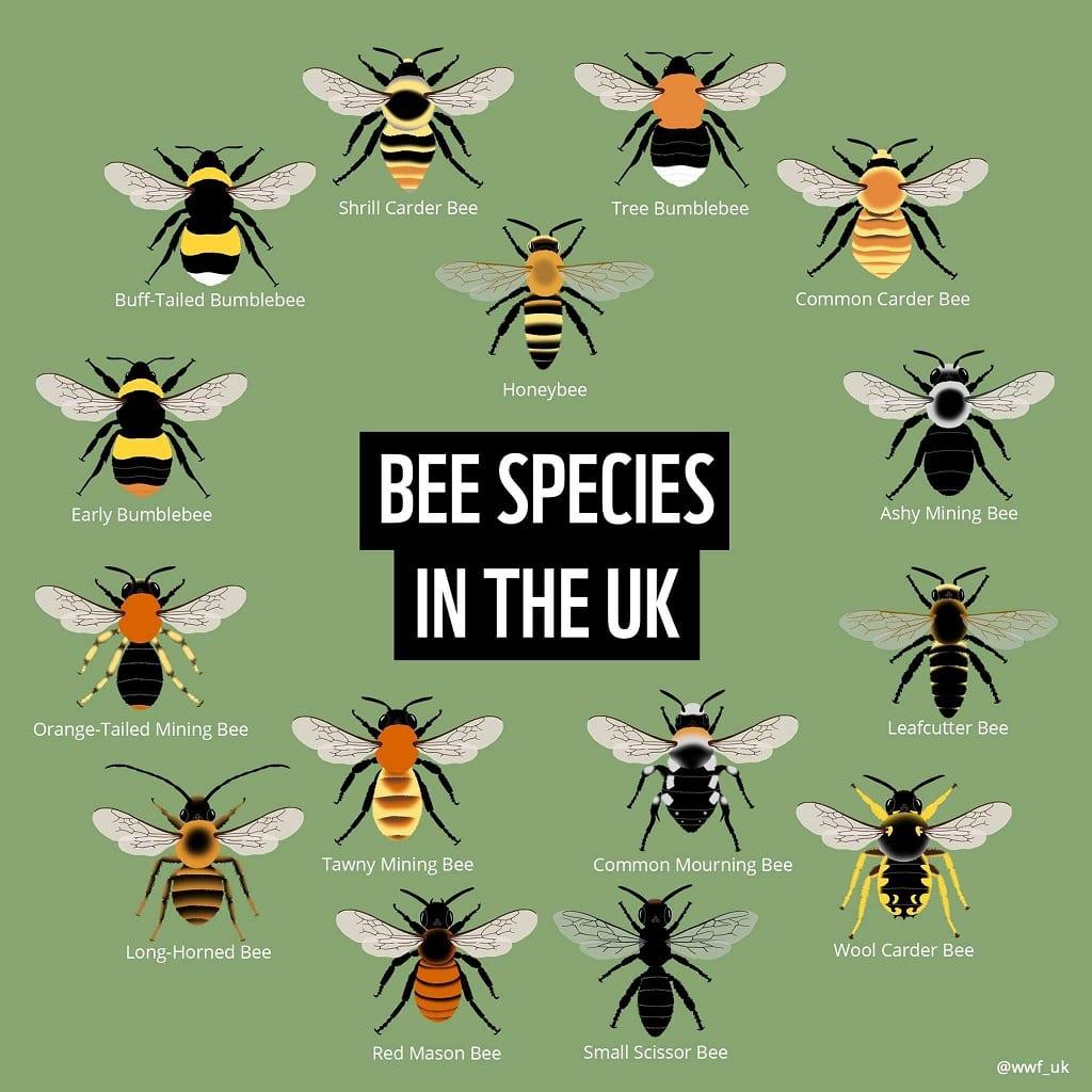 Bee species in the UK
