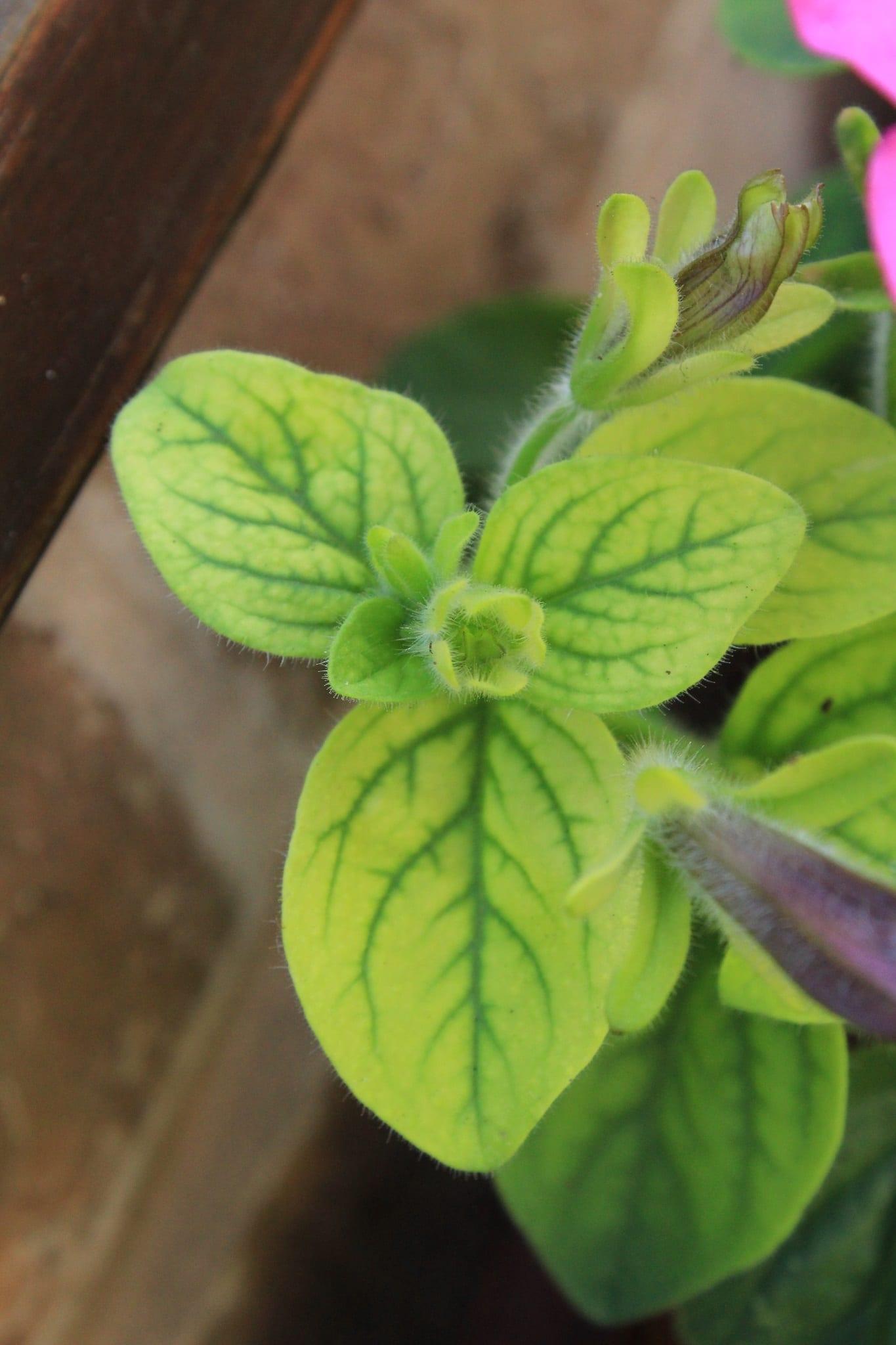Yellow Petunia leaves before treatment
