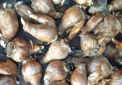 When to Plant Bulbs: A Quick Guide