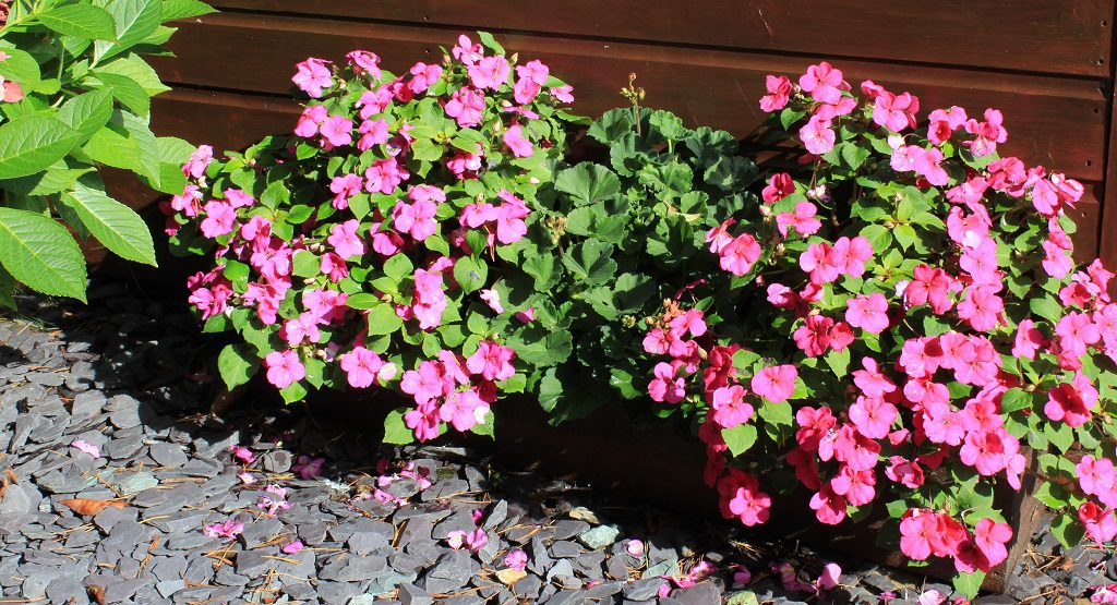 Busy Lizzies and a Pelargonium in a trough
