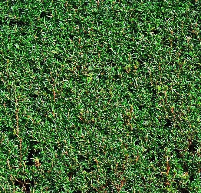 Conifer hedge