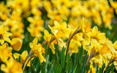 When to Cut Back Daffodils, Tulips and Alliums