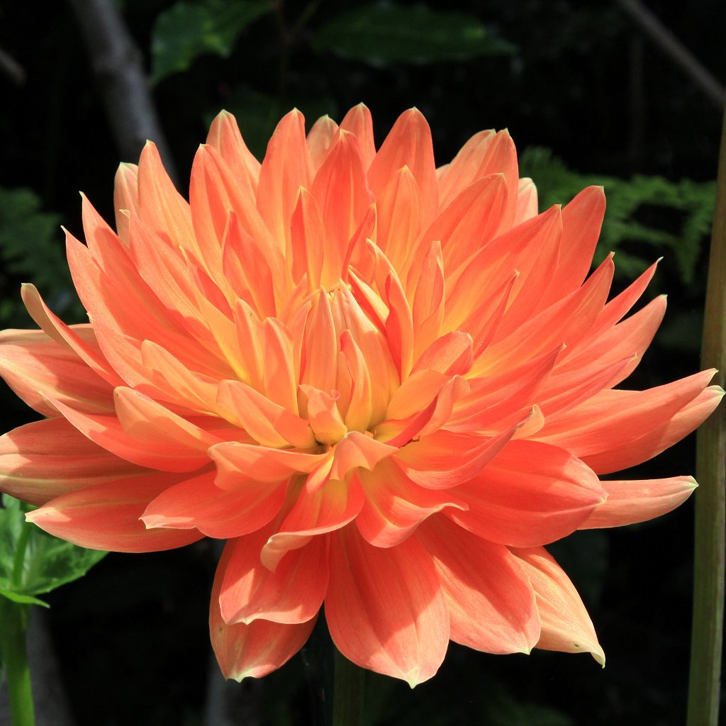 Close up of orange and yellow dahlia in a pot