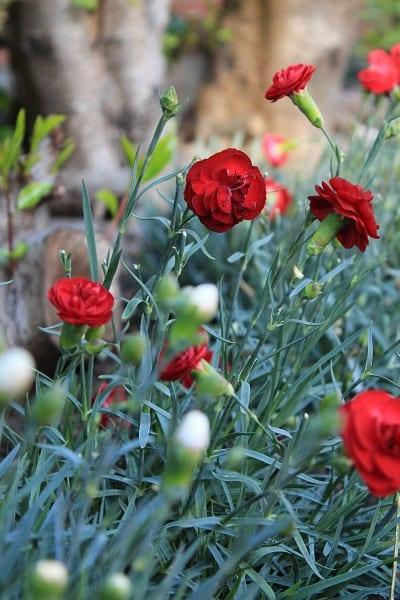 Dianthus closeup