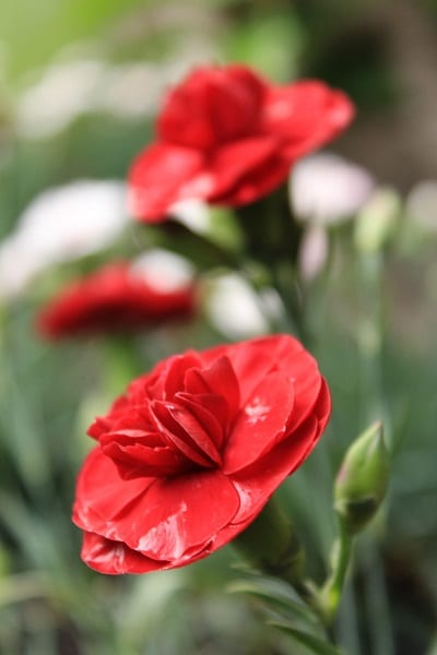 Dianthus flower very closeup
