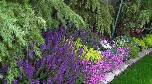 Dianthus border with lavender