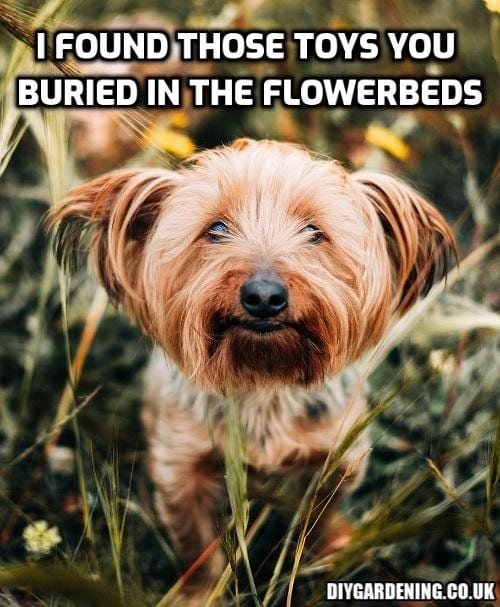 Dog finds toys buried in flowerbeds meme