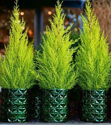 Dwarf conifers for hanging baskets