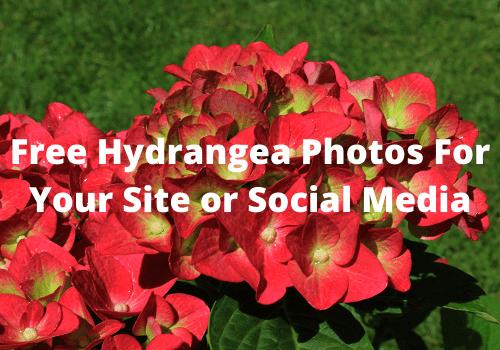 Free hydrangea photos
