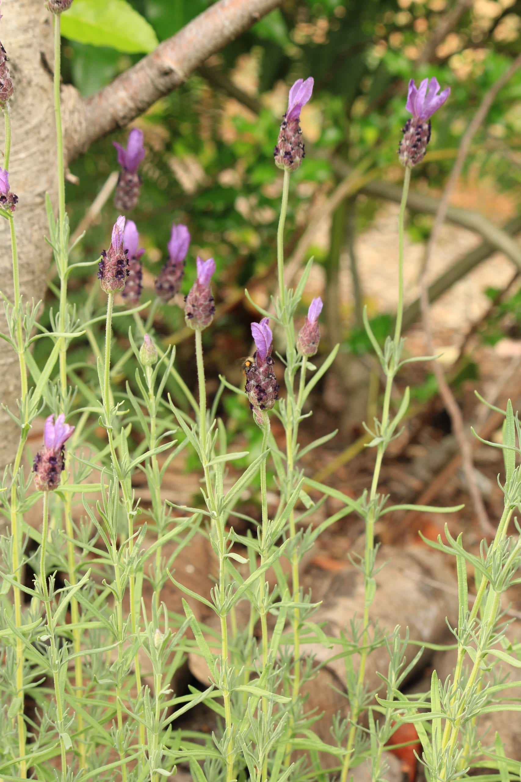 French lavender in border