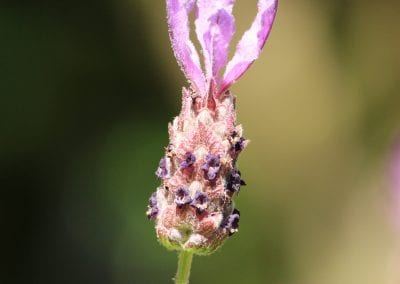 French Lavender close up photo