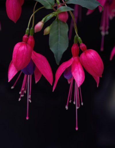 Pink fuchsia flowers dangling