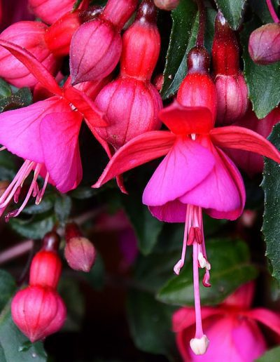 Closeup of pink fuchsia flowers against green foliage background