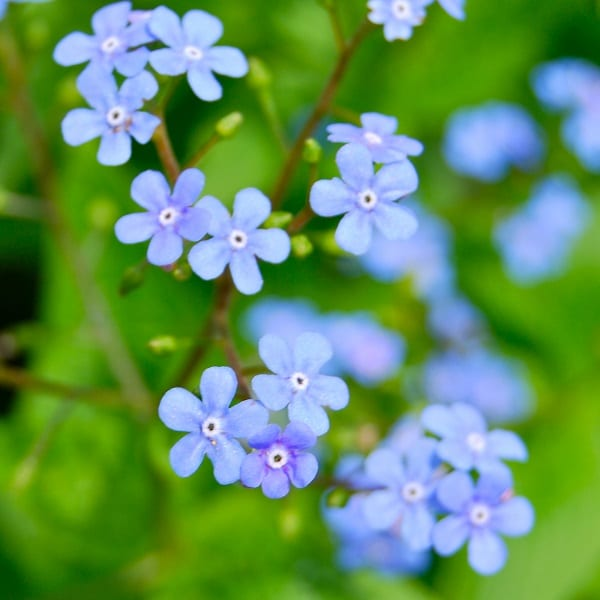 Great forget me not