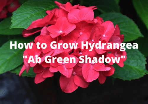Guide to growing hydrangea ab green shadow