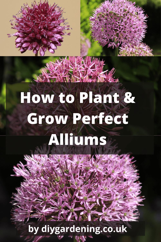 How to grow alliums