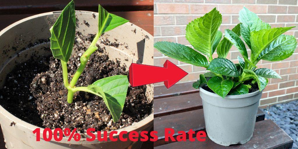 Growing hydrangeas from cuttings by DIY Gardening