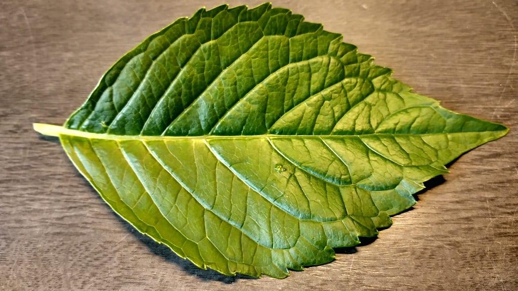 Healthy Hydrangea Leaf