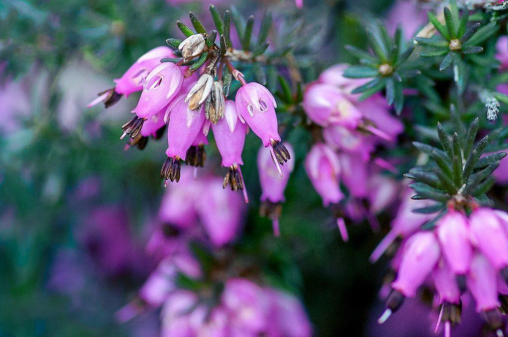 Purple winter flowering heather for baskets