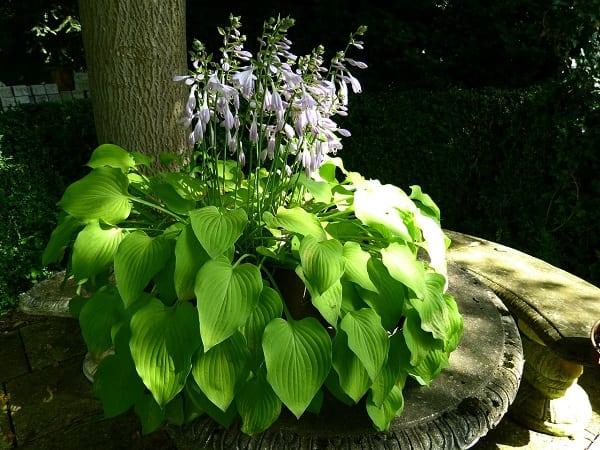 Flowering hosta