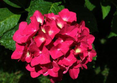 Free Hydrangea Image: Closeup of Hydrangea Macrophylla petals