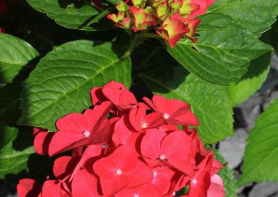 Hydrangea leaves and petals