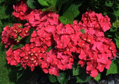 Hydrangea macrophylla pink/red petals